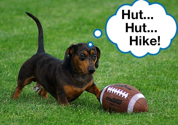 Dachshund getting ready to hike the football in park