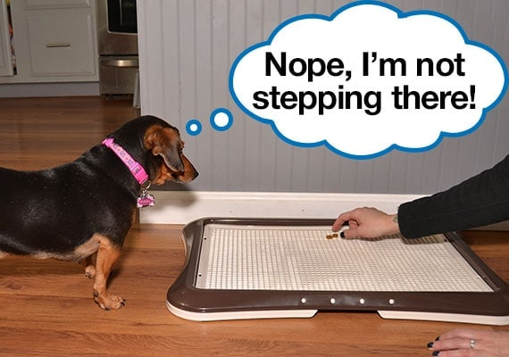 Dachshund refusing to step on the grate of pee pad holder
