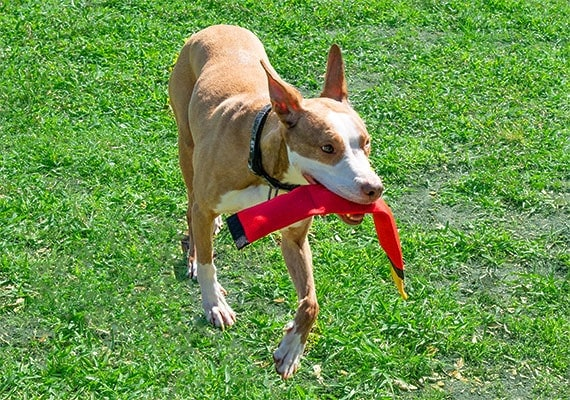 Dog carrying red fire hose toy in mouth at dog park