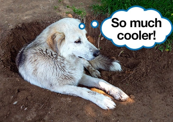 dog laying in hole that he dug in dirt to cool down on a hot summer day