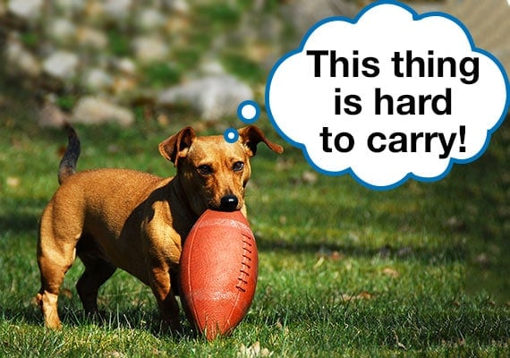 Dog struggling to carry regulation-sized football in its mouth