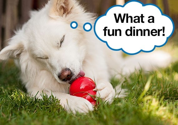 Fussy White dog eating his dinner out of a kong feeder