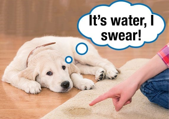 Golden Retriever puppy spilling water on carpet rug