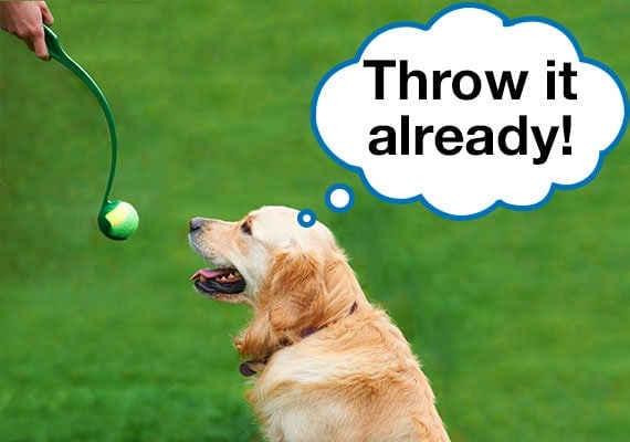 Golden Retriever waiting for tennis ball in ball thrower to be launched at park