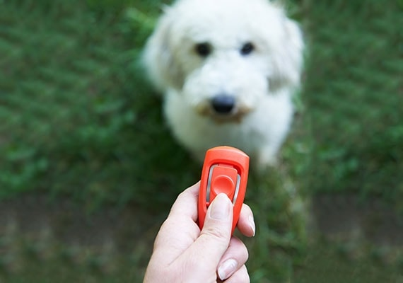 Hand holding clicker in front of white fluffy dog