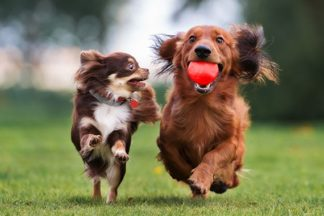Long haired Chihuahua and Dachshund chasing ball in park