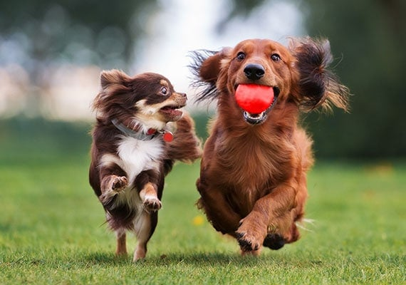 Long-haired Chihuahua and Dachshund chasing ball in park