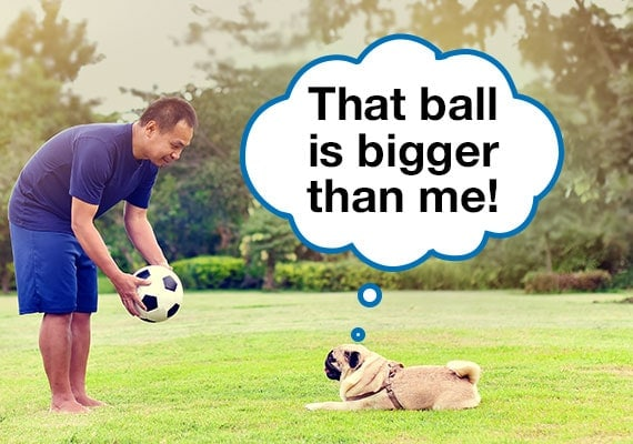 Man trying to convince Pug dog to play with soccer ball