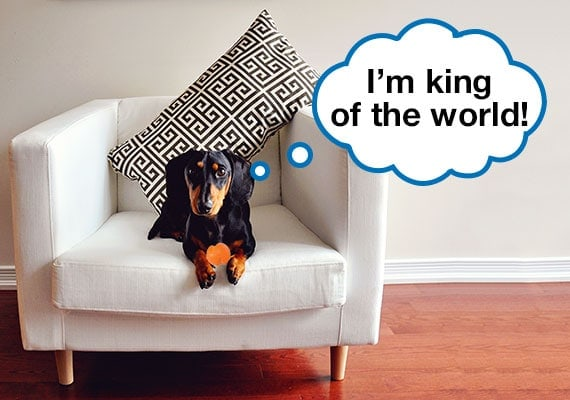 Miniature Dachshund sitting on couch with small ball dog toy in paws