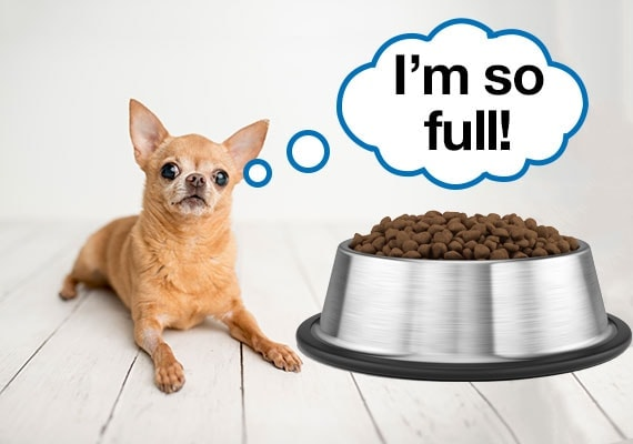 Picky Chihuahua that has been overfed refusing to eat a big bowl of dry dog food