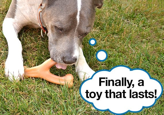 pitt bull terrier chewing on best nylon dog toy, the benebone wishbone