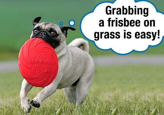 Pug retrieving a thrown Frisbee from grass in park