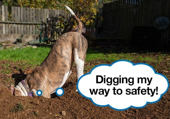 scared dog digging a hole in the yard for safety from loud noises
