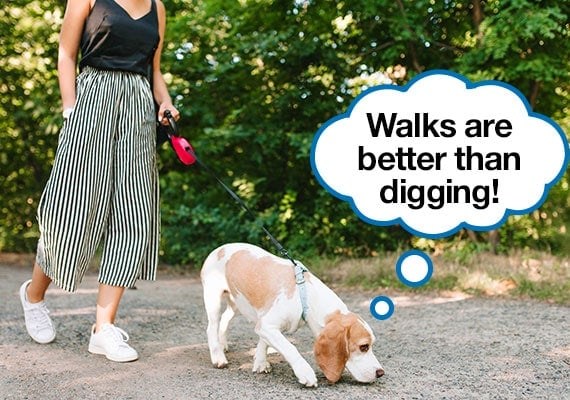 stopping beagle from digging by taking him for a walk