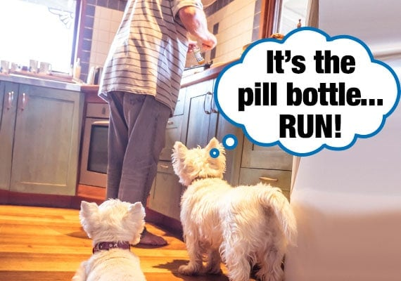 Two Maltese terrier dogs watching owner open up pill bottle in kitchen